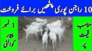 goat farming in pakistan rajanpuri - TH-Clip