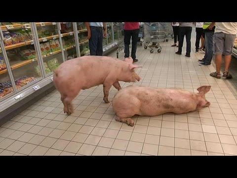 Lot-et-Garonne (47) :  lâcher de cochons dans un supermarché d'Agen (màj vidéo)