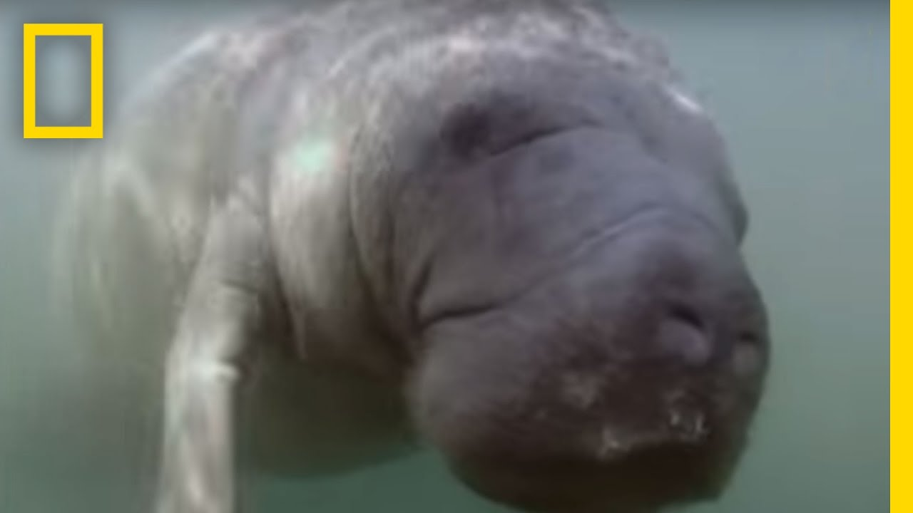 We Put a Camera on a Manatee's Peduncle   National Geographic thumbnail