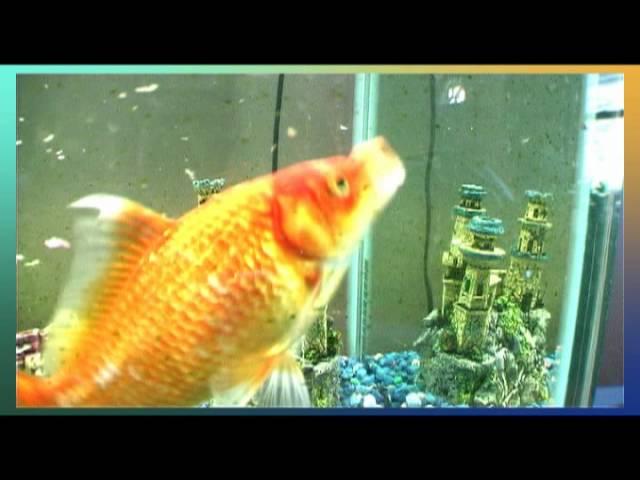 Big tropical gold fish swimming in aquarium
