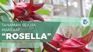 Manfaat Bunga Rosella bagi Kesehatan, Cegah Osteoporosis hingga Pengobatan Kanker