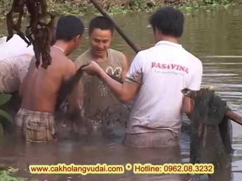 Video đánh bắt cá trắm đen nuôi ốc tại làng Vũ Đại