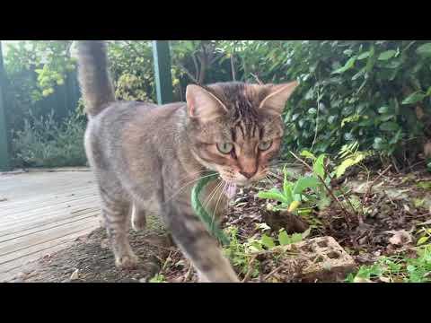 Sienna the Cat - Garden Adventures May 20 2020