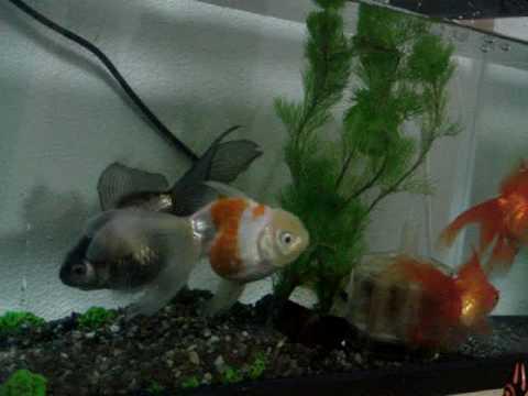 琉金と青文魚2