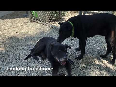 Nigel, an adoptable Labrador Retriever & Retriever Mix in Pasadena, CA