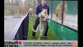 Олег Зубков  возвращает в вольер сбежавшего леопарда .Тайган .Крым