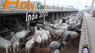 Holy Cow  India 2012/13