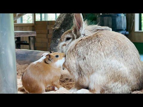 うさぎさんに絡む赤ちゃんモルモット Guinea pig baby