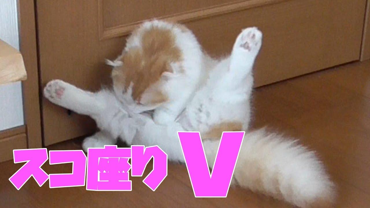 スコ座りする子猫 【スコティッシュフォールド】