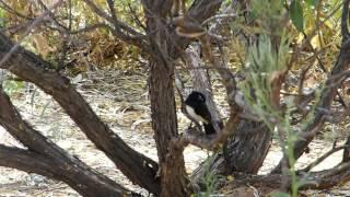 2015-10-02 Black & White Bird, Alice Springs