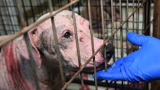 Hairless dogs rescued from alleged neglect by The Humane Society of the United States