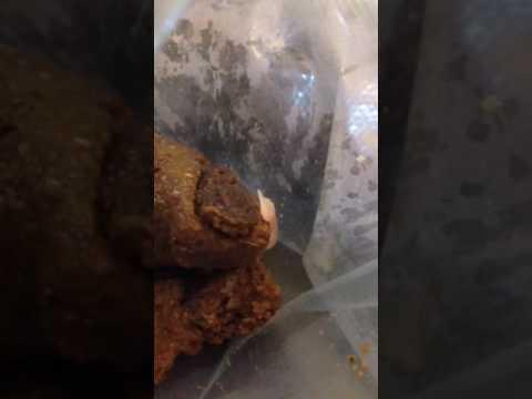 Tablets mula sa mga worm sa Pastulan