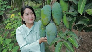 Sweet Mango Picking For Eating Chili Salt And Sweet Fish Sauce | Sros Yummy Cooking Vlogs