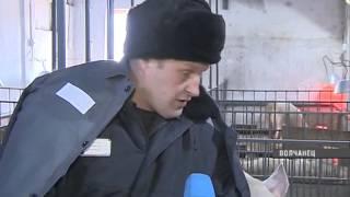 Заключенные колонии в поселке Волчанец занялись свиноводством