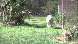 Лев и белая тигрица стали закадычными друзьями