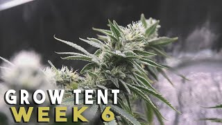 Youngblood's LED Grow Tent Update (Week 6) by Urban Grower