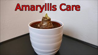 How To Look After Your New Amaryllis Bulb
