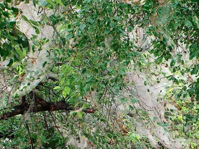 Горностаевая моль продолжает губить ангарские яблони и акации