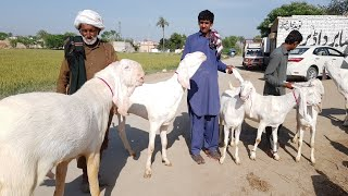rajanpuri pure Gulabi bakriyon ki farming ke tarike Kashif