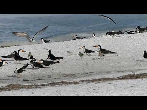 Black Skimmer Chick March Sarasota June 29 2020