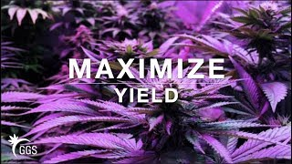 How to Maximize Yields training Cannabis: Topping, Supercropping, LST, and Micro-topping