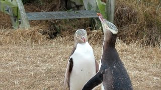video: Antisocial screaming penguin crowned New Zealand's Bird of the Year