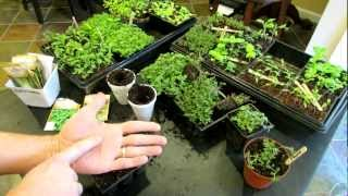 Three Minute Garden Tips: Growing Thyme & Oregano Indoors  (Start to Finish): The Rusted Garden 2013