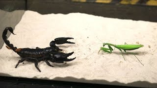BRUTAL FIGHT OF THE MANTIS AND SCORPION   VERSUS OF THE MANTIS   THE AGAMA ATE THE LOCUST!