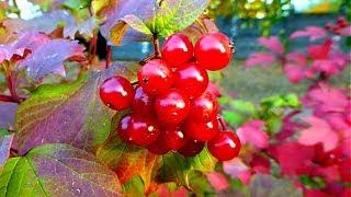 Осень. Ягоды Калины. Красивая Осень. Калина Красная. Красные Осенние Листья. Футажи для видеомонтажа