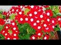 How to propagate Verbena easily