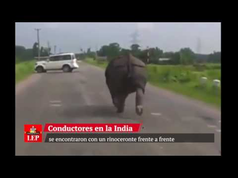 Así reaccionó un rinoceronte frente a los autos en la India