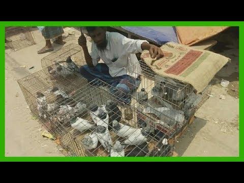 Kabootar name and price video at pigeon bird market in Dhaka