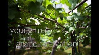 若木の新梢管理 Grape Cultivation (young Tree)