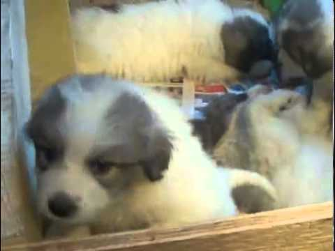 AKC Female Great Pyrenees  USA New England N. East