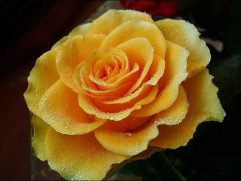 Хойя цветок счастья
