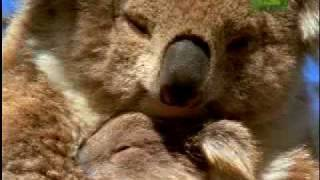 Koala - Nutrition and Behaviour