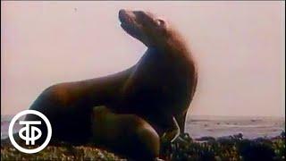 В мире животных. Курильские острова. 1990 г. | В мире животных фото