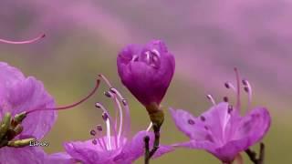 James Last - Yosaku  (Blossom - Цветение)