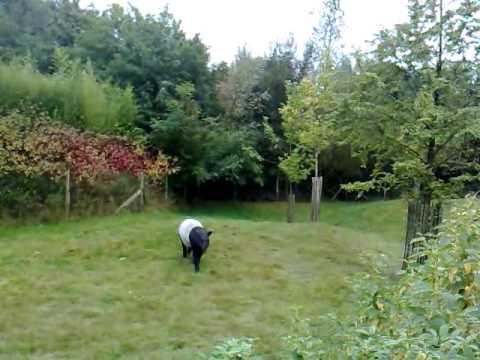 Tapir in Overloon