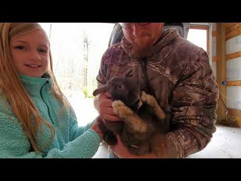 , title : 'Starting our rabbit breeding!  They finally arrived!  Silver Fox rabbits