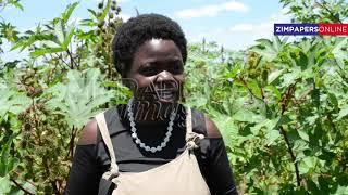 Expert speaks on how to maximise yield  in Castor bean farming.