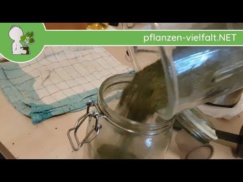 Große Brennnessel - Blätter-Pulver / Bevorratung-Tipps (Urtica dioica) - Essbare Wildkräuter