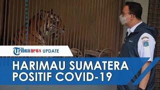 2 Harimau Sumatera di Taman Margasatwa Ragunan Positif Covid-19 Anies: Panggil Petugas Paling Berani