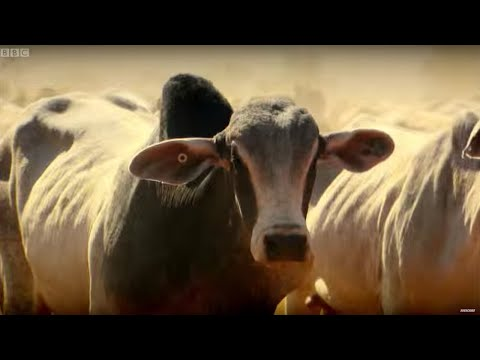Top Gear Vs 4000 Cows | Top Gear