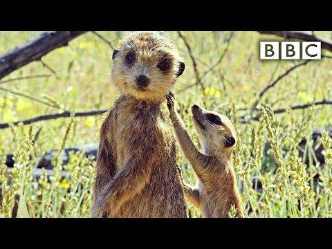 Špión hlídá mláďata surikaty - Spy in the Wild