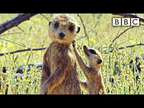 Špión hlídá mláďata surikaty