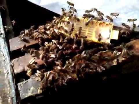 Ревизия семей после зимовки 06.03.2017| Подсадка матки в безматочную семью| Зимовка пчелы Карника