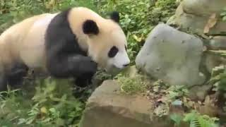 Реально смешные панды  Funny panda