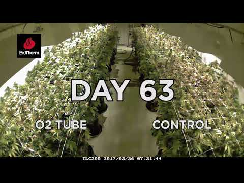 TOOB Cannabis Controlled-Environment Time-lapse