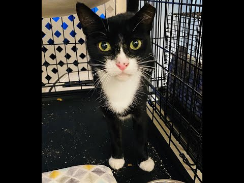 Cleo, an adopted Domestic Short Hair & Tuxedo Mix in South Ozone Park, NY